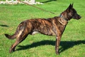 "Dutch Shepherd ""Lothar"" (CH Cher Car's Mr. Right Now - UKC TOP 10 #1 tied Dutch Shepherd 2011)"