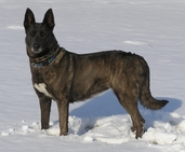 "Dutch Shepherd ""Rush"" (URO1 UAGI P2 PD1 FO Vrijheid's Adrenaline Rush BTr - UKC #1 Dutch Shepherd Dam)"